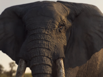 [Animal Cruelty] Previous WWF Ad Was Released as a Warning For Recent Situation: Sumatran Elephant Found Without Tusk Left Mutilated By Killers