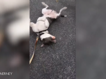 Adorable Trends on Social Media: Blind Dog Plays Dead Trying to Convince Owner Not to Go Home During Lockdown!