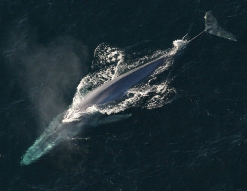 Blue Whale hunting for Krills
