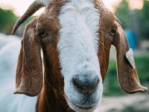 [Viral Video] Farmer and Goat have a Conversation: Baah Baah Baah