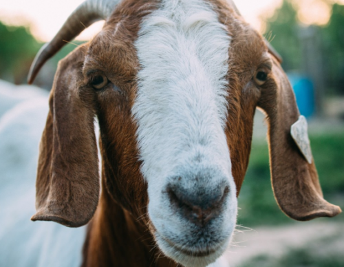 [Viral Video] Farmer and Goat have a Conversation: Baah Baah Baah