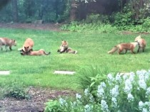 Family of foxes in backyard