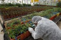 A worker tends to cannabis plants at a plantation near the northern Israeli city of Safed June 11, 2012.