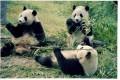 Pandas In China