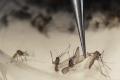 Zika-infected Mosquitoes