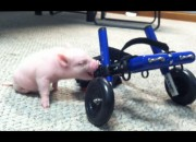 Chris P. Bacon gets around in a custom-made wheelchair despite being a disabled piglet.