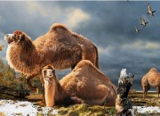 A team from the Canadian Museum of Nature has discovered remains from what they believe is a giant, furry Arctic camel