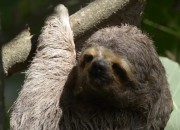Sloths are among the laziest animal in the world and have been even named after the cardinal sin. Recent research by ecologist has awarded the species as the animal that has the slowest metabolism in the planet.