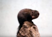 A study shows that manmade noise can have adverse effects on animals, such as the dwarf mongoose.