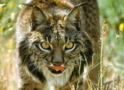 Scientists are using a new method to prevent the world's most endangered wild cat from disappearing.
