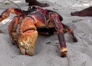 You must not get caught in the claws of the coconut crab since scientists new study confirm that it has a killer clamp.  Coconut crabs are considered as the largest among terrestrial crustaceans, they can lift up to 28 kg (61 lb) and use their beastly claws to fend off attackers.