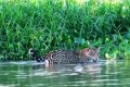 Conservation Efforts On For Jaguar To Survive