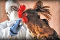 Bird Flu Outbreak In Japan Started, Culling Also Started