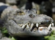 Researchers discovered two new species of alligators, a total of 14 species existed in Venezuela 5 million years ago.