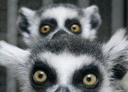 A species of lemur in Madagascar could be the secret to space travel. Being the only known primate to hibernate for six months at a time, dwarf lemurs could help us induce the state in our own species.