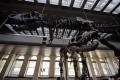 Prehistoric Allosauraus Skeleton Being Sold At An Auction, Can You Guess How Much It Costs?