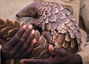 Pangolin scales are said to have healing powers.  Traditional Chinese medicine use them to treat various illnesses.