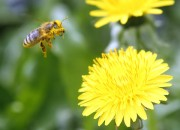 Scientists have discovered the gene that helps honey bees navigate.