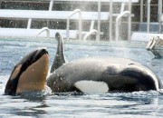 Animals in captivity for entertainment have been one of the controversial conservation issues. SeaWorld San Deigo puts an end to Orca shows as the controversy goes on.
