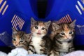 Cat Emergency At Battersea As Fewer Prospective Owners Come Forward