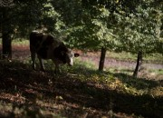 Scientists will be able to produce a 100 percent substitute of the aurochs or supercows, an extinct wild cow specie which are the ancetors of domestic cattle.
