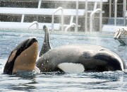 Killer whales are one of the only three mammals that go through menopause, surviving long after they topped reproducing. The older female killer whales will then be responsible for helping the younger ones to survive and find food.