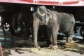 Sterling And Reid Brothers Circus Elephant Tries To Eat Hay Underneath A T