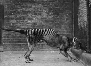 Scientists have finally discovered why the extinct Tasmanian Tiger was created to become a predator.