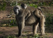 Baboon males struggle for leadership and dominance. Here's why baboon males get violent and kill infants.