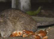 CDC confirms that 8 people in the US have been infected with a virus from the rat bite of rare rodents. This is the first time that cases like thses have been reported in the US since most reports of the infection have occured in Asia.