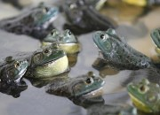 Bullfrogs may die of the deadly fungus they themselves spread, a new study suggests.