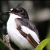 A new study finds that climate change have affected birds' tuft to a reversal evolution. Normally male flycatchers grow a sparkling white patch on their forehead the bird uses this patch to attract mate during mating seasons.