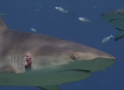 A new study of shark DNA reveals that the sea giants could be a possible lead in cancer cure. However, scientists do not promote consuming shark meat, for some parts of the shark may rather harm human health.