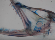 Researchers have uncovered the reason for the dragonfish's odd anatomy: a soft tissue that serves as a flexible joint between the base of the skull and the spine that allows the deep sea creature to swallow bigger preys for survival. Living in deep waters where food is scarce, the snake like creature can swallow much larger and uncommon preys.