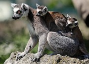 Lemurs will steal food from humans, but the ones from larger groups will tend to shy away if you are watching. This means that the animals in larger groups have a higher social intelligence. But what does that mean for primate research?