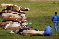 Suspected Outbreak Of Foot And Mouth Disease