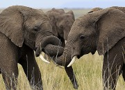 Nuclear fallout from Cold War tests of atomic weapons could help track down poachers of ivory. The same method cold also be used to solve murders and stop art forgeries.