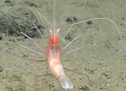 Living stylodactylid shrimp was documented in the Marianas Trench Marine National Monument. Depths such as those at the Marianas Trench Marine National Monument are an extreme challenge for explorers. Providing too little information about the species living there and their behavior.