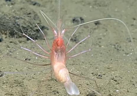 Living Stylodactylid Shrimp Documented 4826 Meters Deep