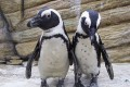 Parents Of Stolen Penguin Produce New Egg