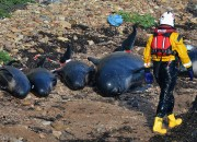 Almost half of the pilot whales that were stranded died. Rescuers and volunteers did their best to save survivors back to the sea. Pilot whales are not endangered however their population in New Zealand is not accurately known.