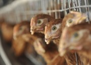 The outbreak of Avian flu in China have pushed public health officials to halt the sales of poultry. Despite showing signs of slowing down, the H7N9 bird flu have caused the most numbers of infections, making it the worst on record.