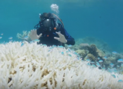 Another extensive coral reef bleaching is predicted to occur this year as thermal imaging shows new signs of reef discoloration. Scientists warn that if governments don't do anything about it, coral bleaching will occur in increasing frequency.