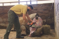 Zookepers Are Now Cutting Off The Horns Off All Their Rhinos