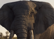 The worst nightmare which was previously shown in a WWF Ad has just recently come to life. A Sumatran elephant was previously found without tusk left mutilated by killers.