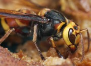 Beware of the sudden appearance of this Asian Giant Hornet in the US as they strike down other creatures without prejudice.