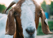 Ever seen a farmer and a goat have a conversation? Well, you're about to!